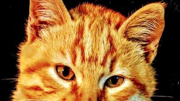 AAA Cercasi Rio, gattino rosso che si è allontanato da casa