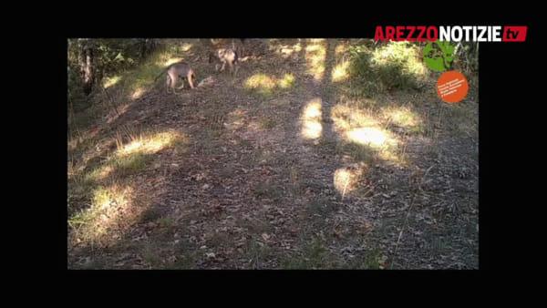 Lotte, corse e riposini: la dura legge del branco. Cuccioli di lupo in libertà