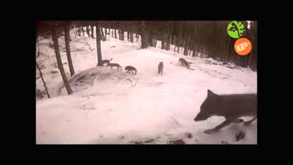 La marcatura del territorio: decine di lupi definiscono i confini