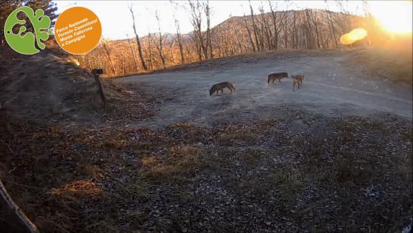 Vita da lupi: cuccioli a spasso e adulti a caccia. Le immagini rubate nel Parco