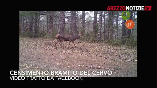 L'antico rituale di lotta e corteggiamento dei cervi. E' tempo di censimento nel parco delle foreste casentinesi