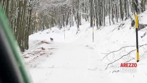 Lupo, un nuovo avvistamento nelle Foreste Casentinesi