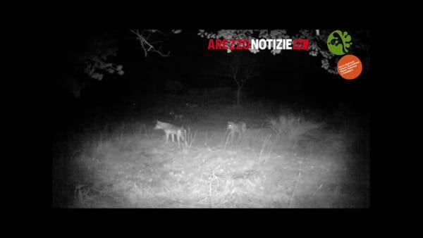 Lupi a caccia di cinghiali: la lotta per la sopravvivenza. Il video racconto del Parco